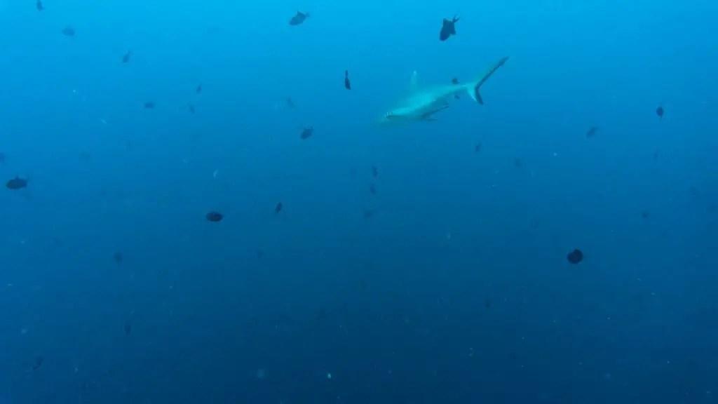 Miyaru Kandu maldives dive reef sharks