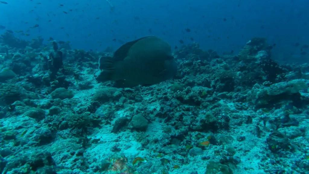 napoleon wrasse maldives