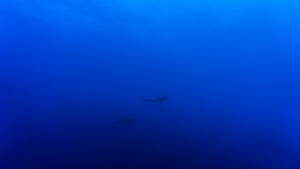 hammerheads daedalus egypt diving