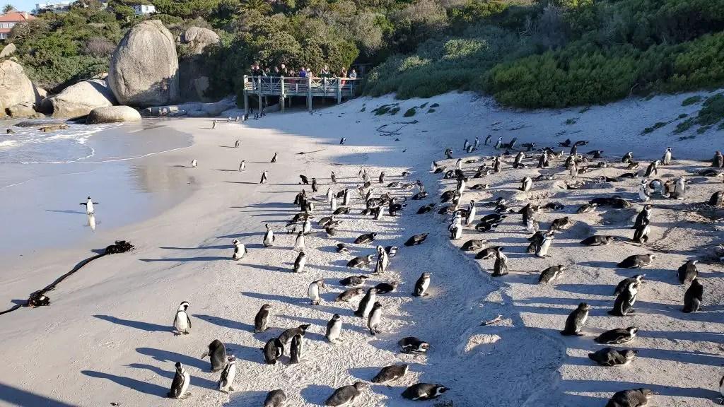 penguins boulders beach cape town