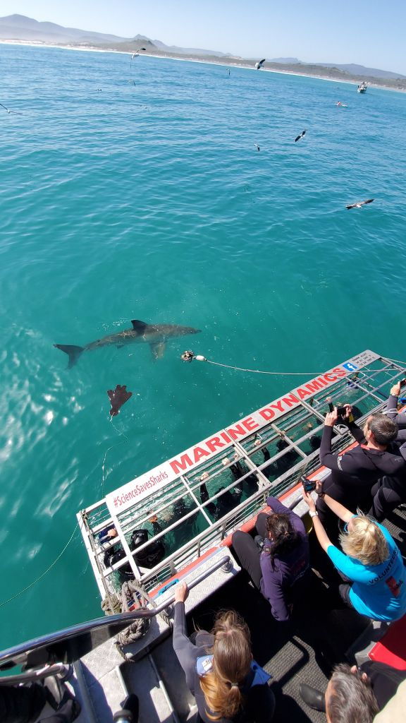great white shark diving cape town