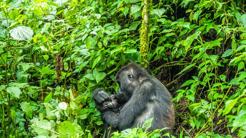 Gorilla and her baby in the congo