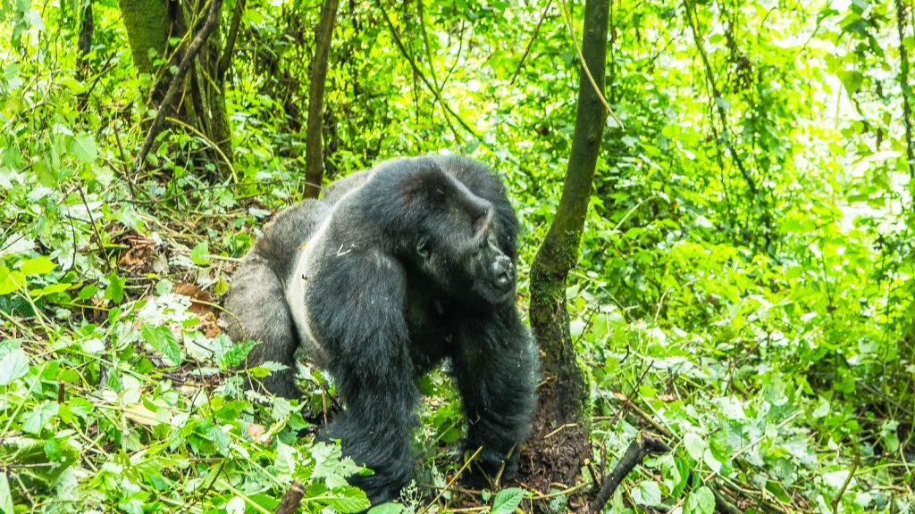 Bonane the silverback of Kahuzi Biega