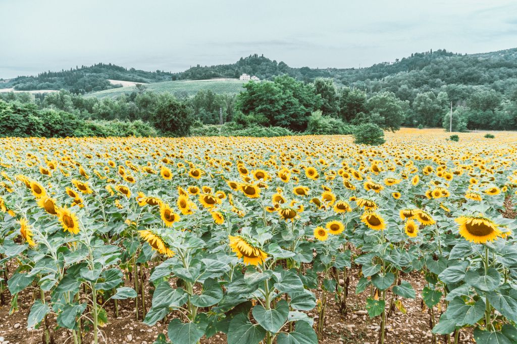 Beautiful sunflower farm in Tuscany