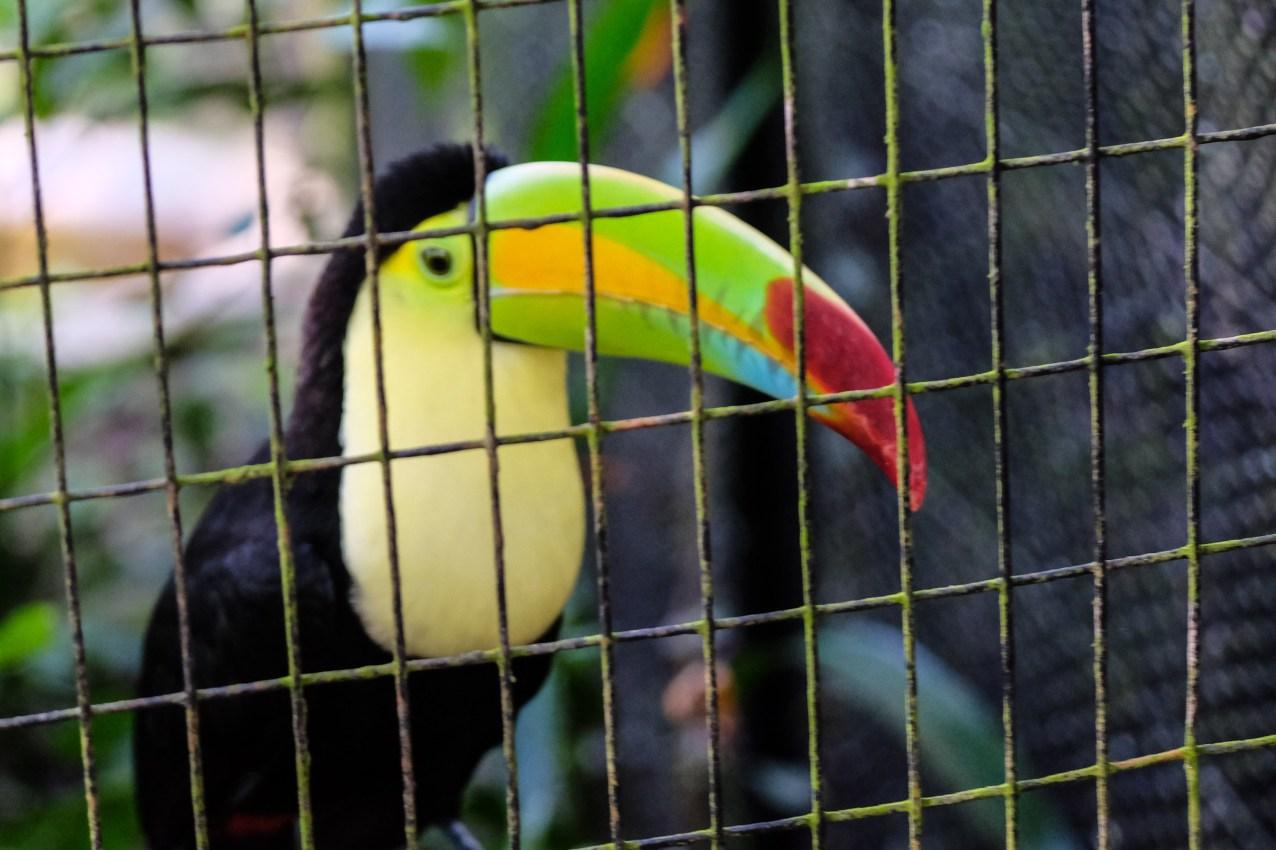 Toucan i Belize Zoo. Foto: Johnny Friskilä