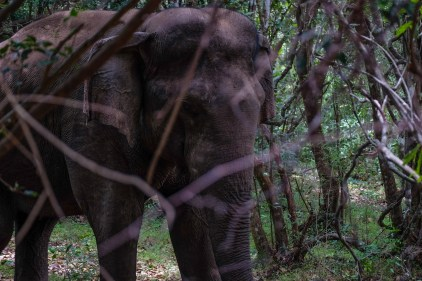 An elephant behind the bushes