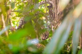 En ozelot klättrar i träden. Foto: Johnny Friskilä