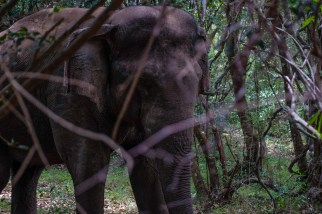 Minneriya-national-park-elephant-zoom
