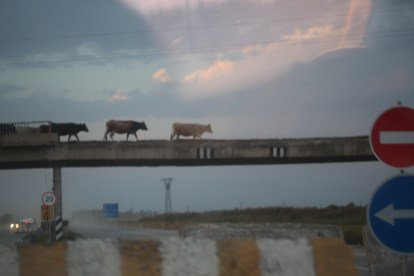 cows-on-the-road