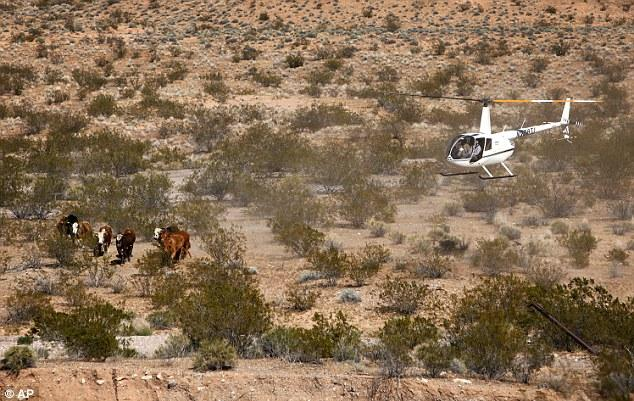 Contractors for the Bureau of Land Management round up cattle belonging to Cliven Bundy