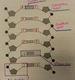 labeled dna diagram [ 800 x 1066 Pixel ]