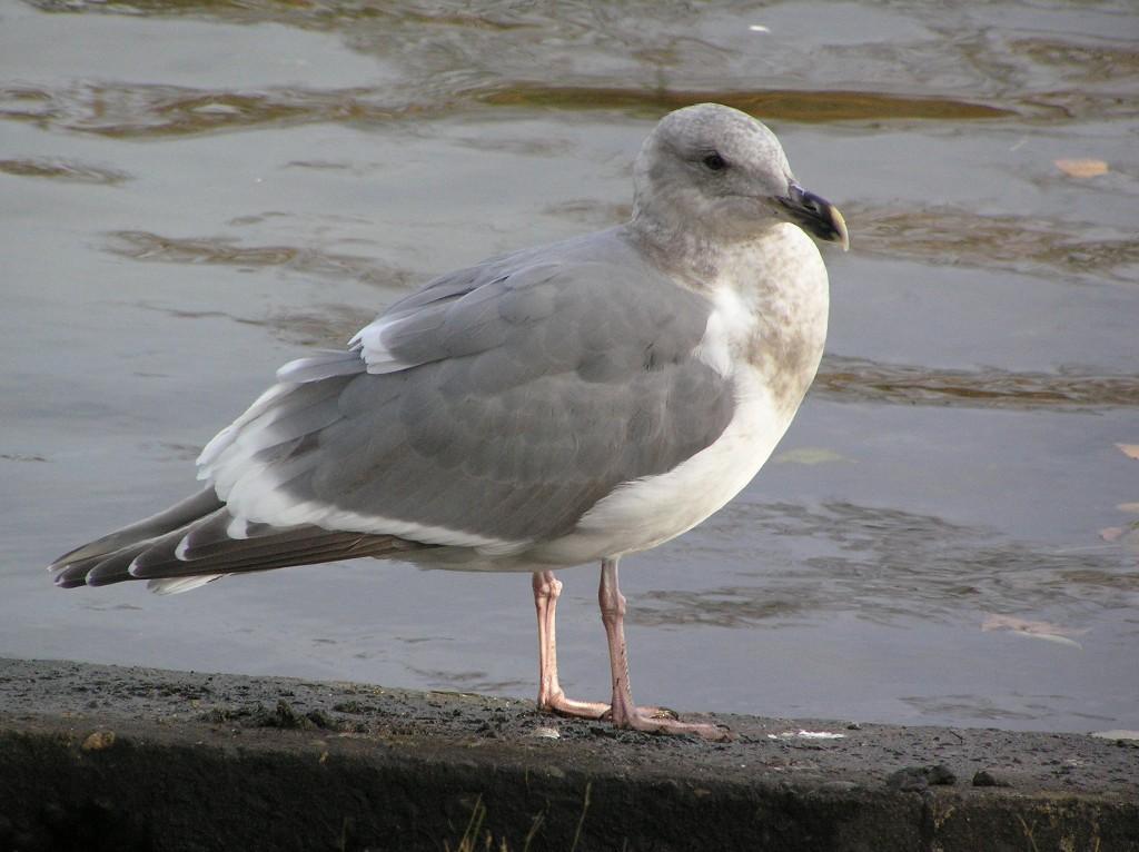 olympic-gull