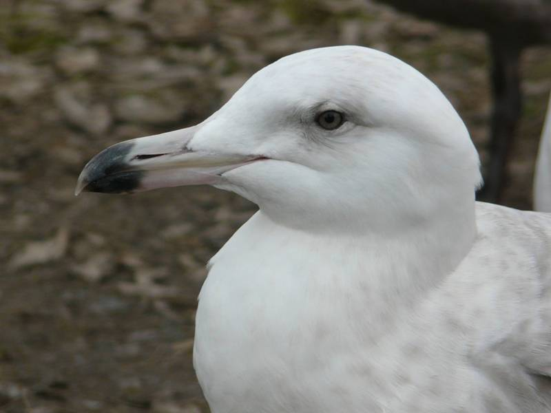 glaucous-gull-head