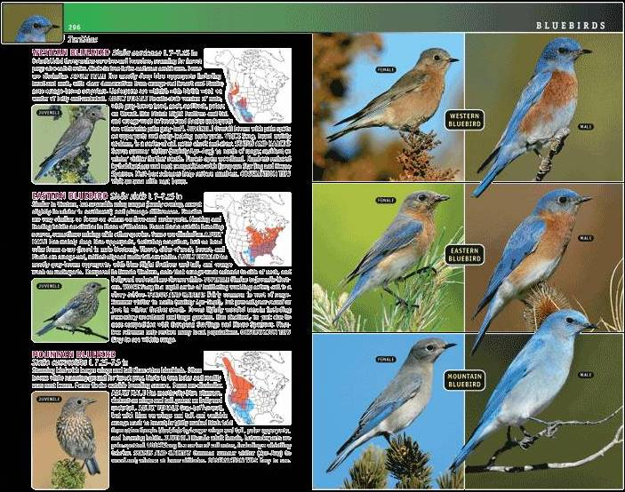 bluebird spread