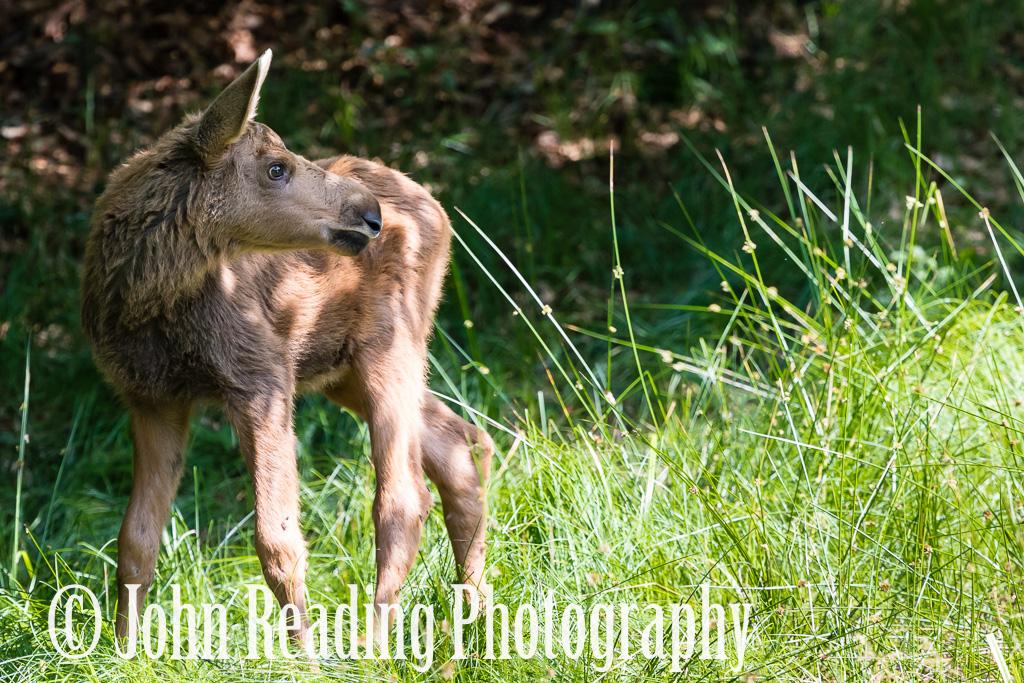 Juvenile Elk Bavaria