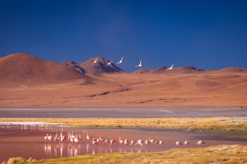 Flamingos habitam a Laguna Colorada.