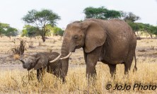 Elephant Cow and Calf in Tarangire National Park