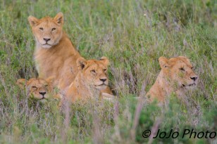 Lion pride at the Simba Kopjes in the Serengeti National Park