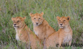 Lion cubs at the Simba Kopjes in the Serengeti National Park