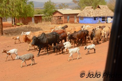African Cows and Goats in Tanzania