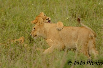Lion cubs at the Simba Kopjes in Serengeti National Park