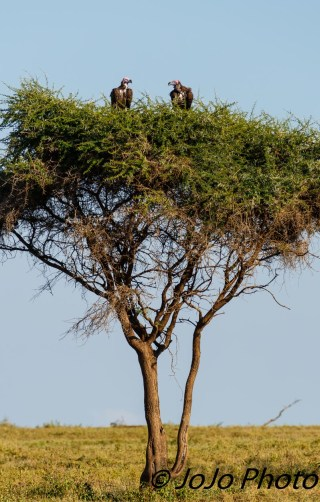 Lappet-faced Vultures sitting in a tree...in Serengeti National Park