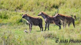 Spotted Hyenas in Serengeti National Park