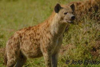 Spotted Hyena in Serengeti National Park