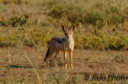 "Black-backed Jackal in Serengeti National Park ""Hello"""