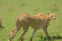 Cheetah with cubs in Serengeti National Park