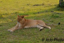 Lion on night game drive outside Klein's Gate