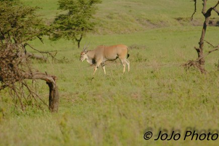 Eland are the largest antelope of Serengeti National Park.