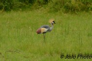 Grey Crowned Crane (nat'l bird of Sudan) in Serengeti National Park