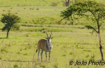 Eland (Taurotragus oryx) in Serengeti National Park.