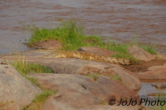 Crocodile in the Mara River in Serengeti National Park