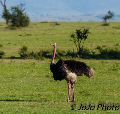 Masai Ostrich in Serengeti National Park