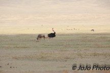 Ostrich and White-bearded Wildebeest in the Ngorongoro crater