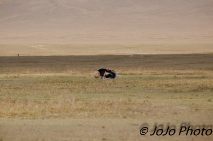 Ostrich performing a courtship dance in Ngorongoro Crater