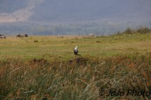 African Fish Eagle in Ngorongoro Crater