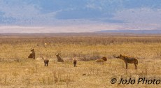 Spotted Hyena pack (cackle or clan) in Ngorongoro Crater