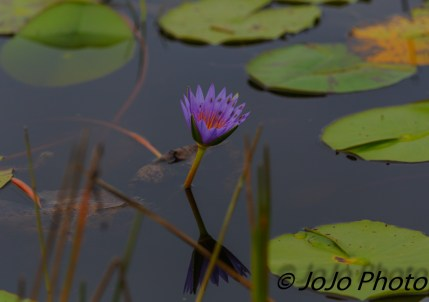 Water Lily in Mabamba Swamp west of Entebbe, Uganda
