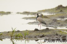 Long-Toed Plover in Mabamba Swamp west of Entebbe, Uganda