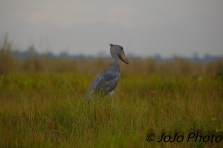 Shoebill Stork in Mabamba Swamp west of Entebbe, Uganda
