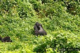 Silverback Gorilla, Makara