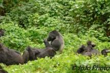 Habinyanja Gorilla Family