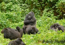 Silverback Makara with his Family