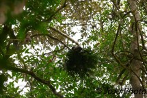 Baby Chimpanzee in Nest in Kibale National Park