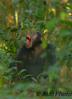 Chimpanzee Vocalizing (loudly) to Family