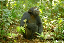 Chimpanzee in Kibale National Park (what a wiener!)