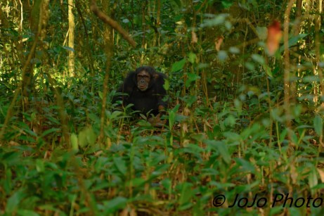 Grinning Chimpanzee in Kibale National Park